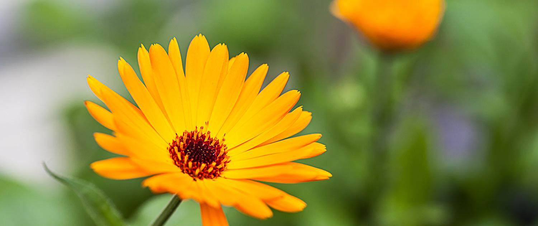 Beatrice Grass Heipraktikerin: Blüte gelb Calendula Ringelblume