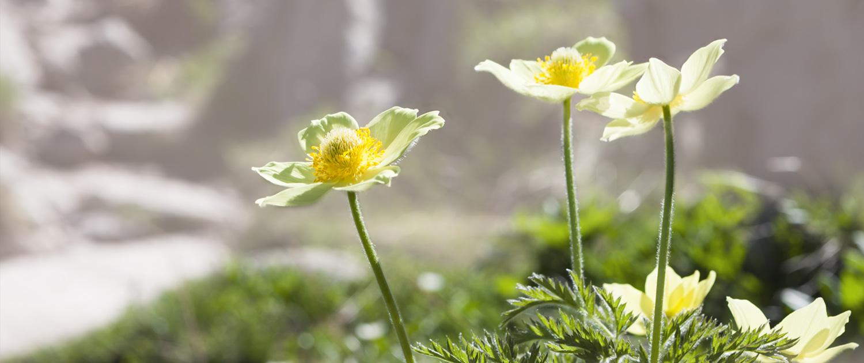 Beatrice Grass Heipraktikerin: Pulsatilla Blüte Pflanze